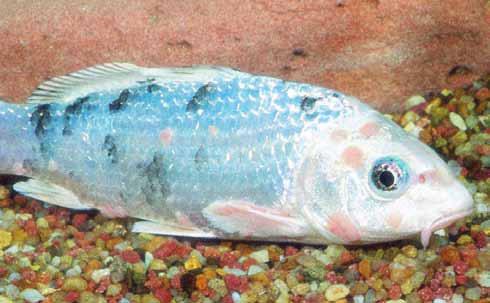 aranyhal vörös foltokon, mint kezelni egy világospiros folt a karon