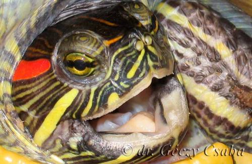 vörös foltok a teknős bőrén vörös könyök a könyökön pikkelyes és viszkető