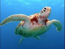 vörös foltok a teknős bőrén
