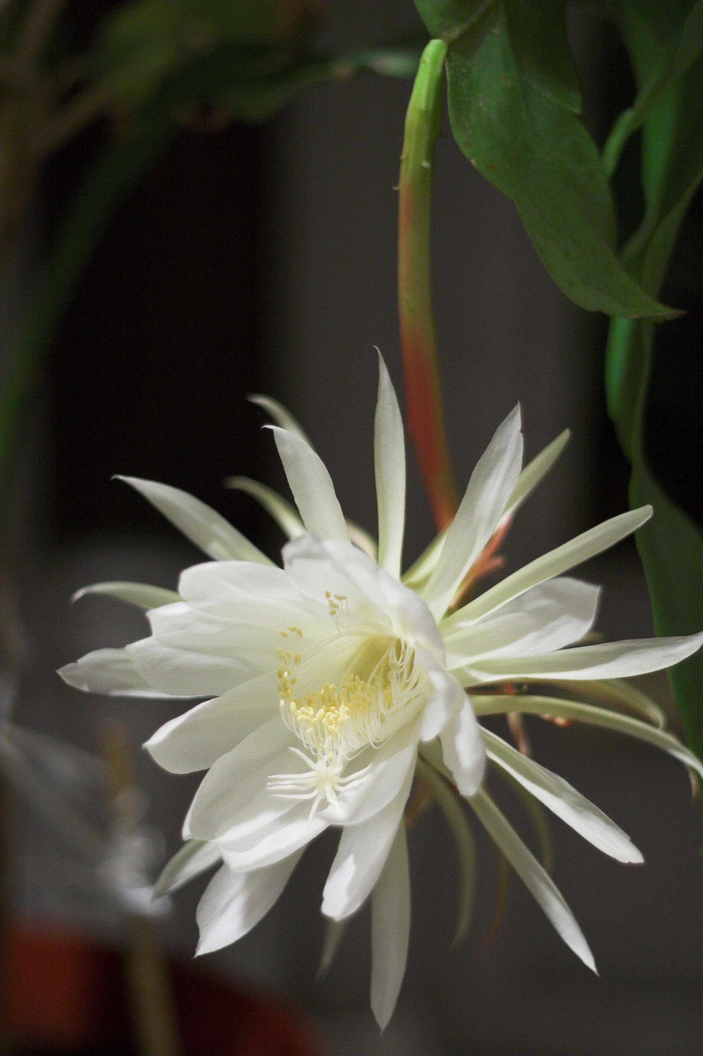 epiphyllum kezeli a pikkelysmr gyógyítani pikkelysömör mikor