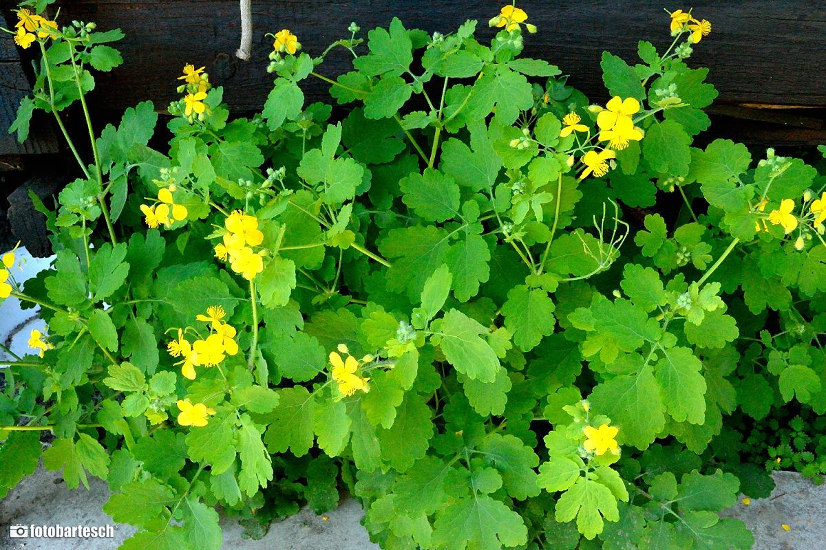 verehullo-fecskefu-kenocs - Cikkek   Herbs, Natural healing, Home medicine