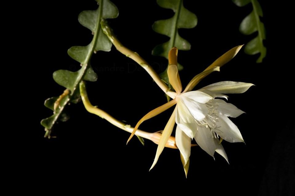 epiphyllum cactus pikkelysömör kezelése