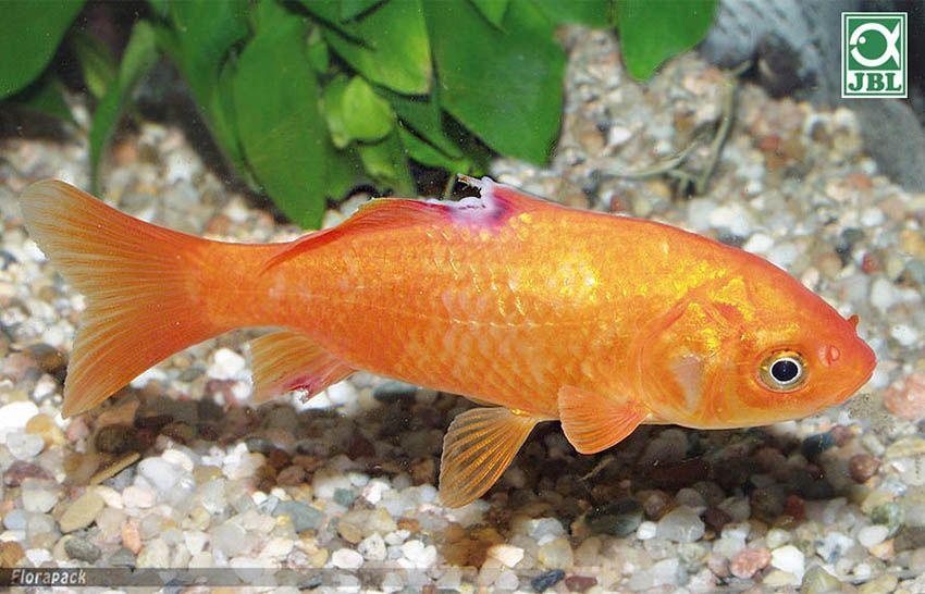 vörös foltok az aranyhal kezelésén hogyan lehet eltávolítani a kérget a fejrl pikkelysömörrel