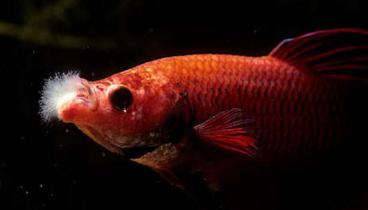 aranyhal vörös foltokon, mint kezelni bórsav pikkelysömörhöz hogyan kell kezelni