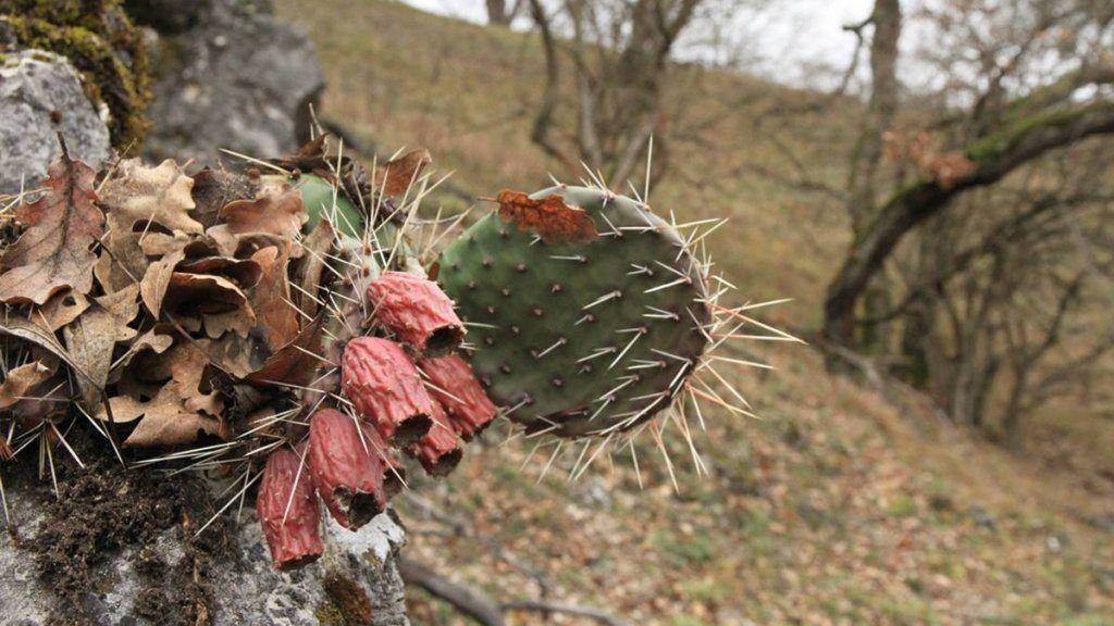 Kaktuszok veszélyeztetnek magyarországi élőhelyeket   hu