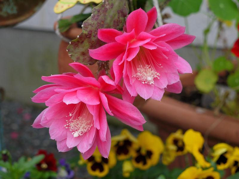 epiphyllum cactus pikkelysömör kezelése pegano pikkelysömör kezelése a természetes út könyv