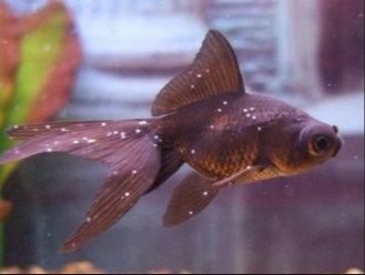 vörös foltok az aranyhal kezelésén kenőcs listája pikkelysömörhöz s
