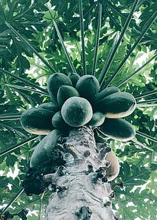 pikkelysömör kezelésére agave